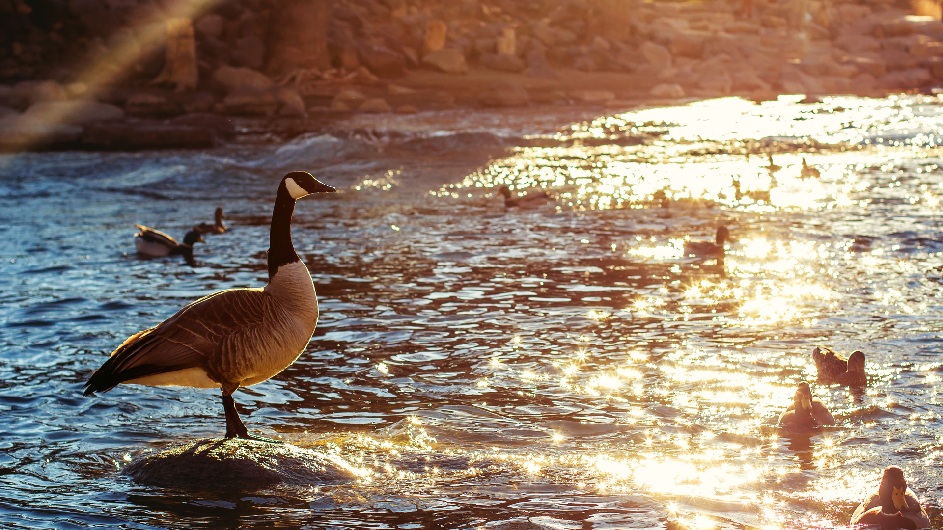 A goose standing on a rock in the Truckee River
