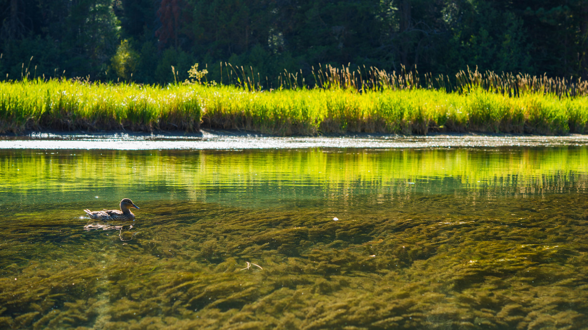 A duck swimming along the Truckee River marsh