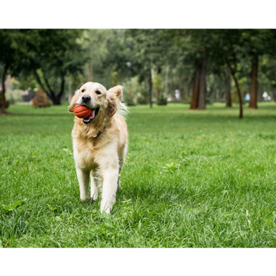 A golden retriever with a ball in his mouth